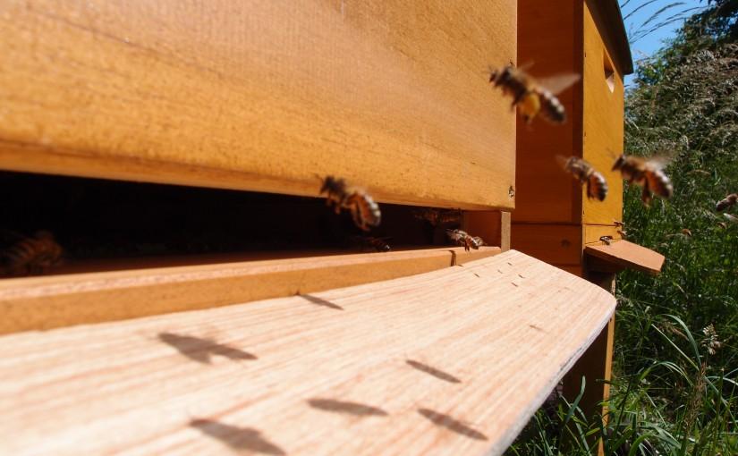 Meine erste Honigernte steht bevor